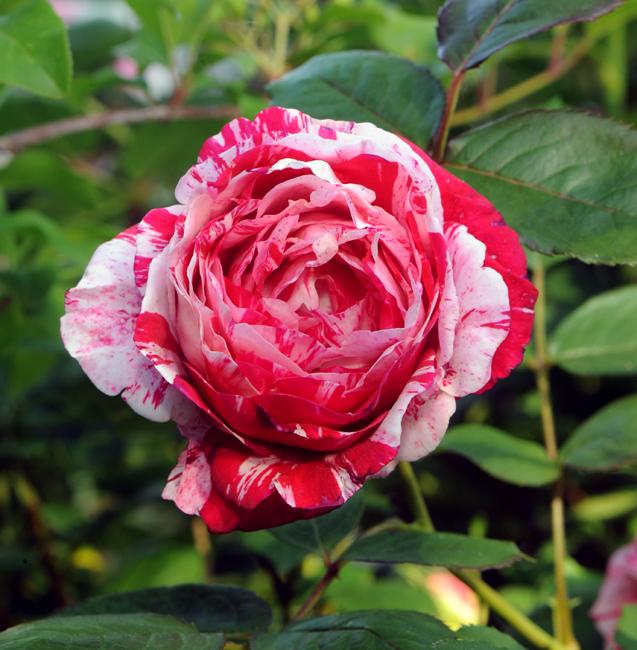 Rose 'Scentimental'