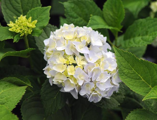 Hydrangea 'Nantucket Blue'