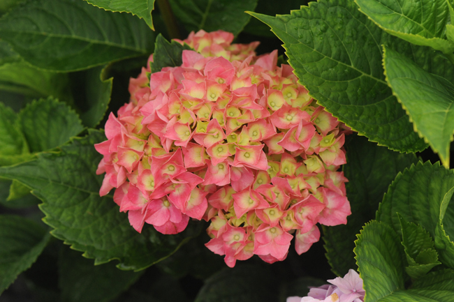Hydrangea 'Oregon Pride'
