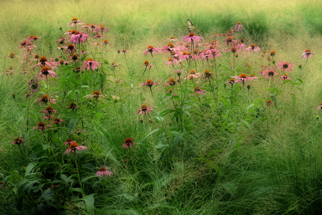 Echinacea with sprobolus at Chanticleer