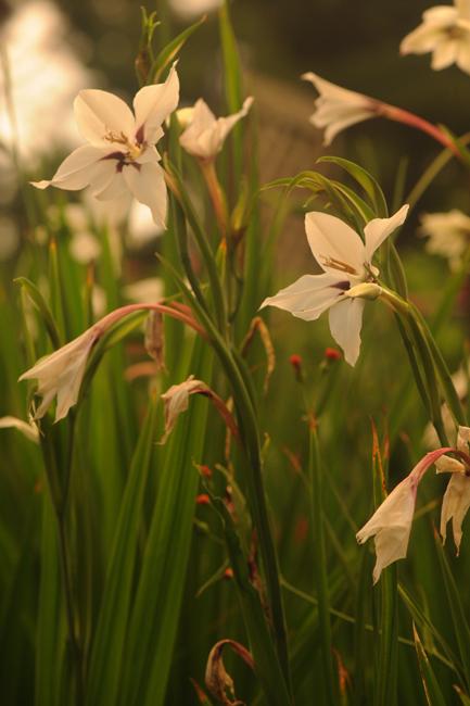 Acidanthera flowers