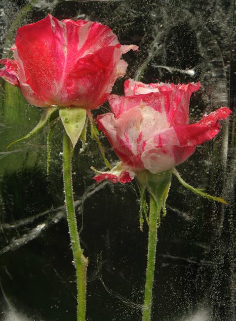 Frozen Rose 'Scentimental'
