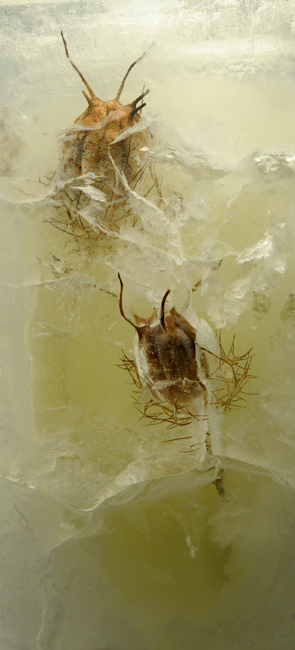 Frozen nigella seed pods