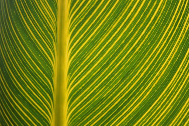 Canna 'Bengal Tiger' leaf
