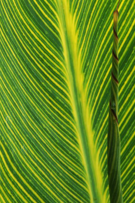 Canna 'Bengal Tiger' leaf detail