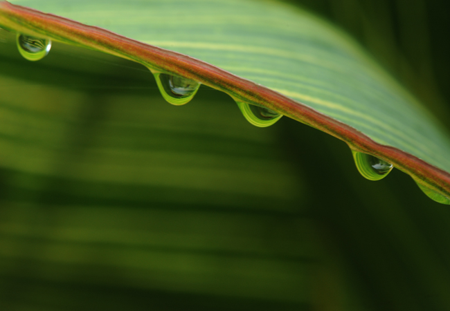 Droplets on Canna 'Bengal Tiger' leaf