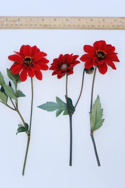 Dahlia 'Bishop of llandaff' with ruler