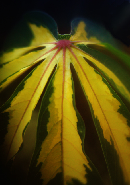 Leaf on variegated manihot