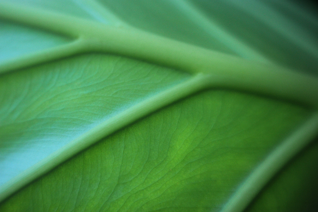 Detail on leaf of Colocasia odora 2