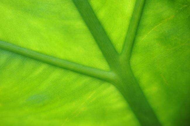 Detail on leaf of Colocasia odora 1