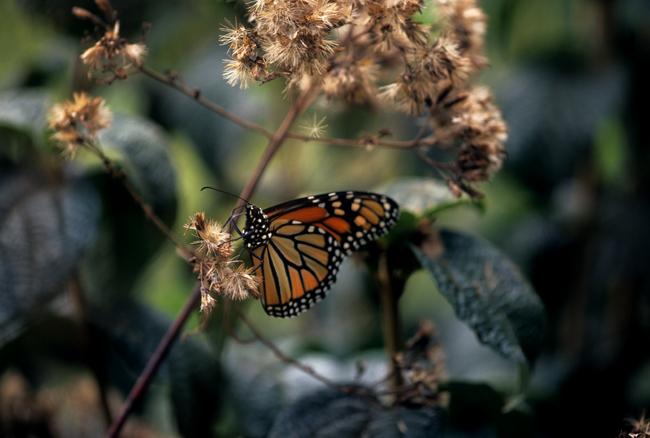 Monarch on eupatorium