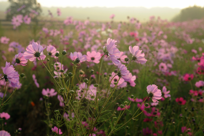 Cosmos as highway planting