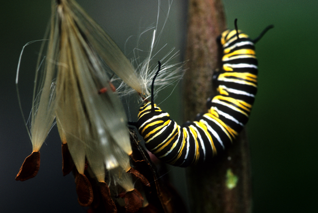 Monarch larvae eating asclepias seed