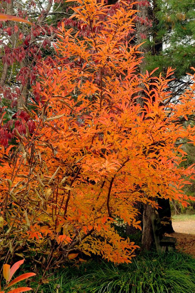 Lindera glauca var salicifolia  in garden