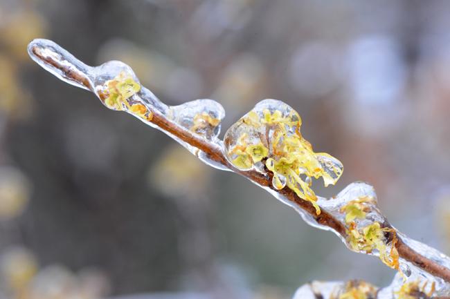 Hamamelis virginiana flowers in ice