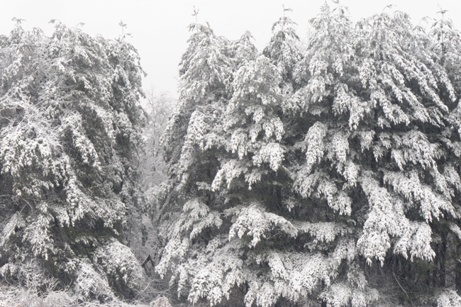Pines in snow 1