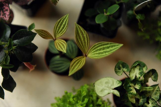 Peperomia puteolata and other terrarium plants