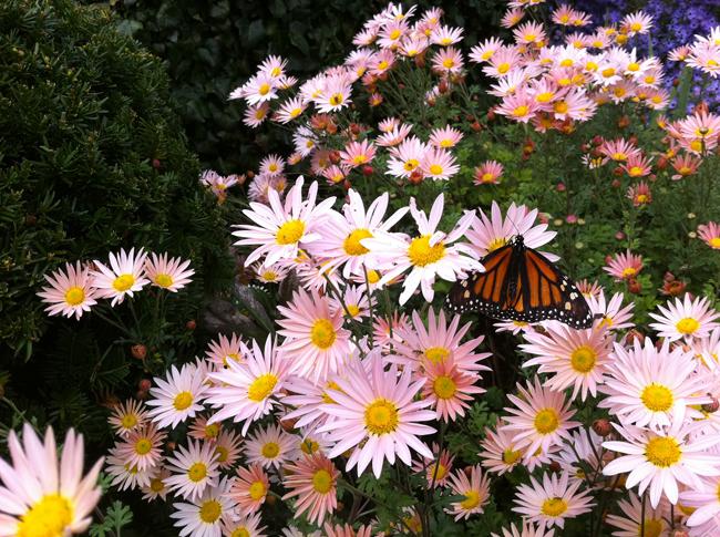 October monarch on chrysanthemum