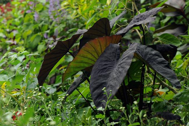 Black leafed alocasia
