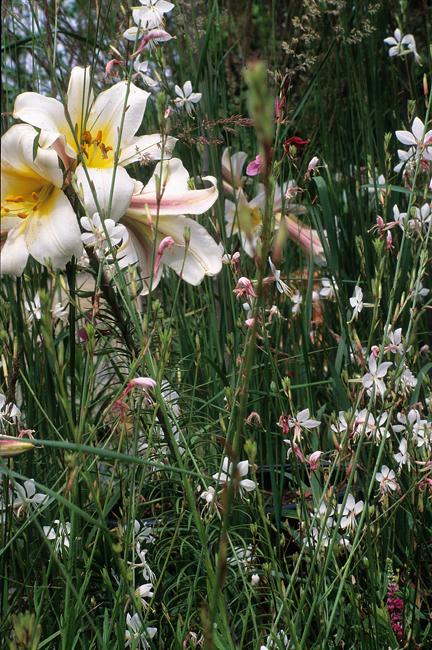 Lilium regale and gaura
