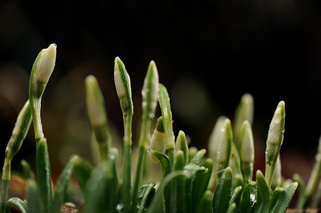 Snowdrops coming up in February ice