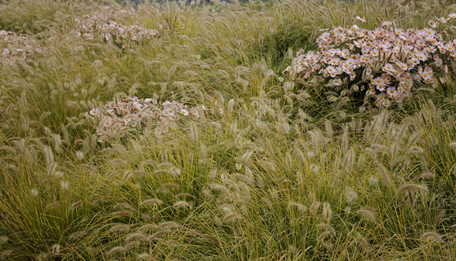 Chrysanthem 'Sheffield' with pennisetum