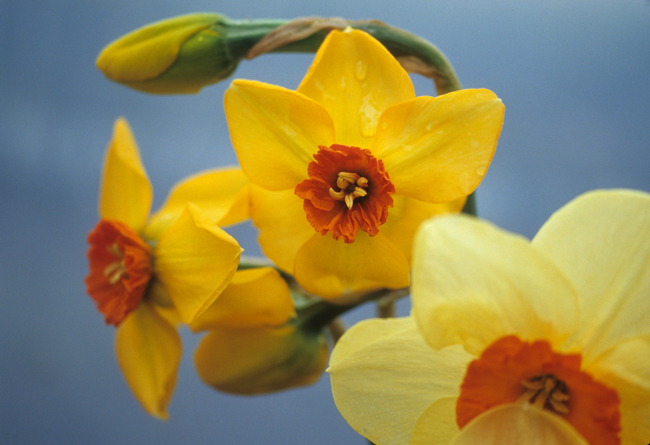 Daffodil 'Sabine Hay' and 'Ambergate'