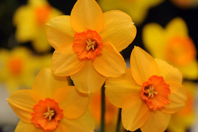 Daffodil 'Stylish'