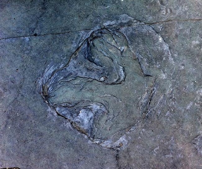 Dinosaur track at Oak Hill