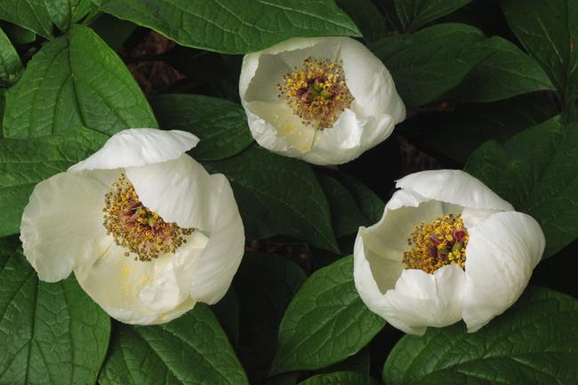 Peony obovata flowers