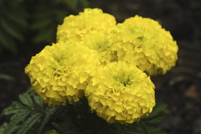 Marigold 'Diamond Jubilee'