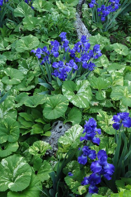 Blue iris and petasites at Oak Hill