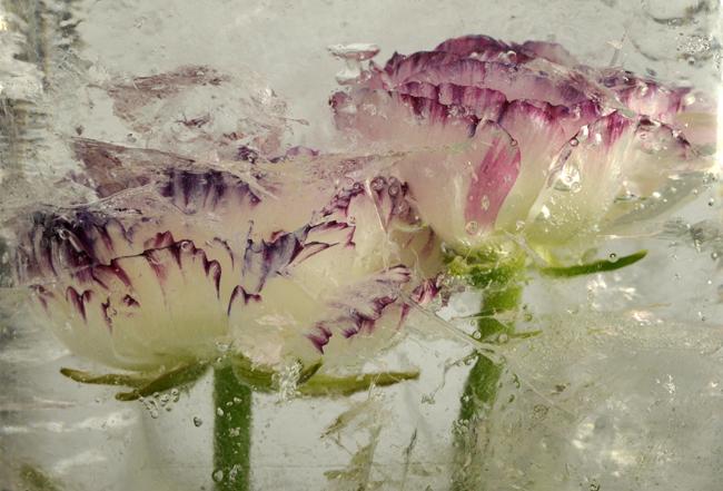 Frozen bicolor ranunculus 1
