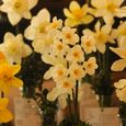 Daffodil entries into Upperville Daffodil show