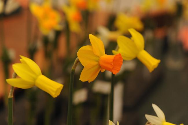 Daffodil 'Arrowhead'