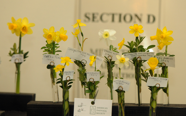 Miniature daffodils at the Upperville Daffodil Show
