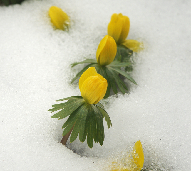 Eranthis or winter aconite in snow cropped