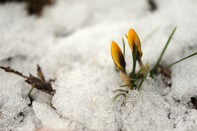 Crocus tommasinianus in snow in March