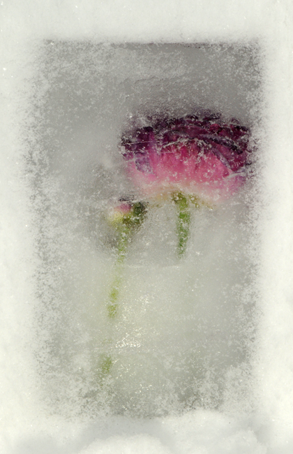 Frozen purple ranunculus in snow
