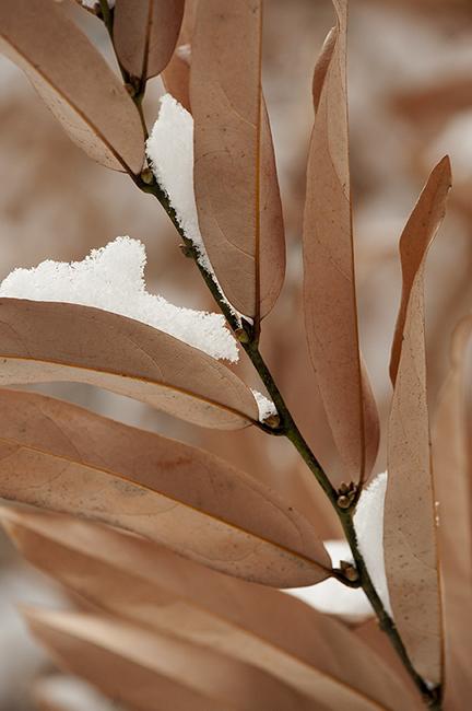 Lindera salicifolia 1