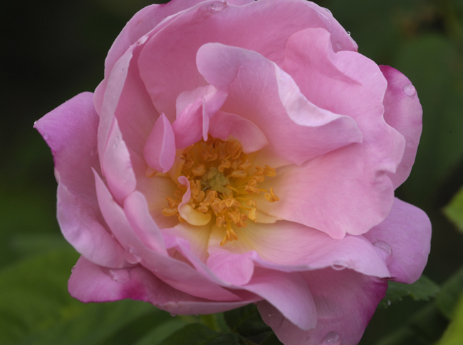 Rose 'Belle Amour'