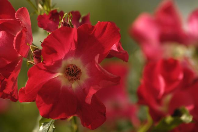 Rose 'Dortmund'