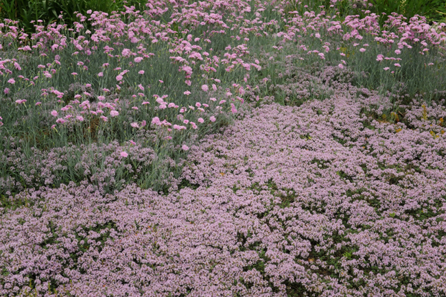 Dianthus 'Bath's Pink' with wooly thyme