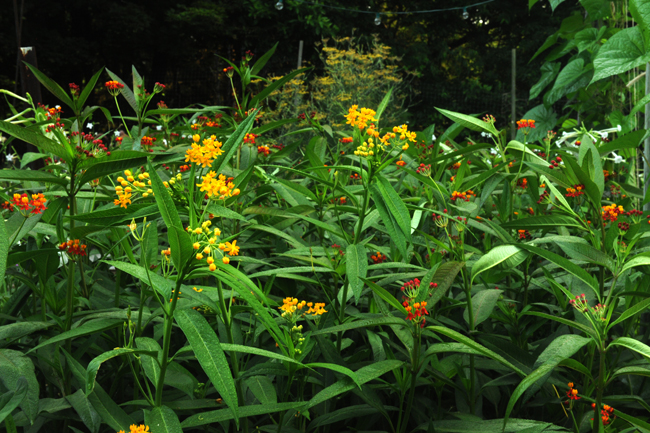 Asclepias curassavica in July