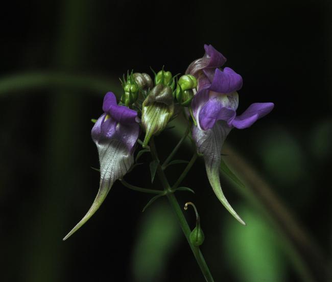 Linaria triornithophora purple 1