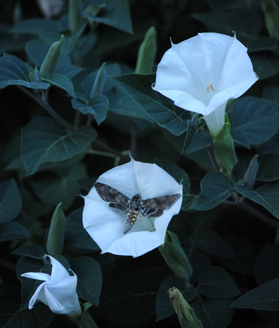 Sphinx moth on datura
