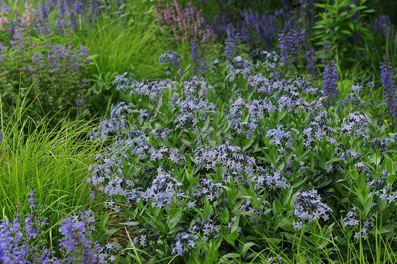 Amsonia 'Blue Ice' with nepeta