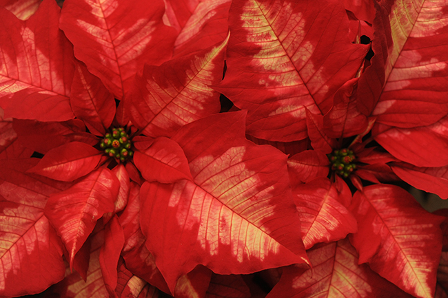 Poinsettia 'Ice Punch'