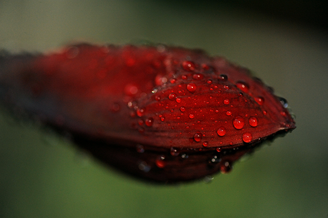 Amaryllis flower with water drops
