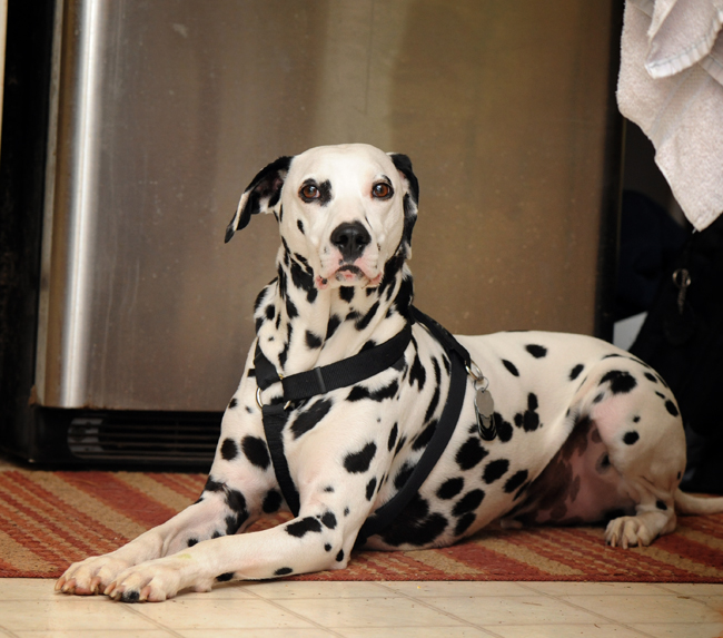 Mack the dalmation